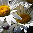 Daisy Delight  by Heather Friedman