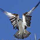 Osprey hovering before landing! by Anthony Goldman