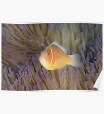 Pink Anemonefish - Amphiprion perideraion Poster