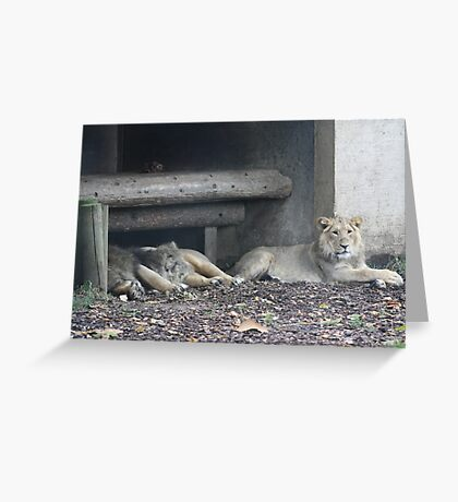 Family of lions Greeting Card