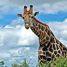 Hello Giraffe by Tracy Riddell
