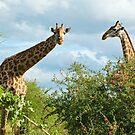 Giraffe Duo by Tracy Riddell