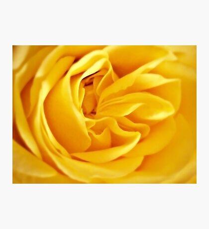 Golden Rose Petals. Photographic Print