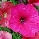 Vibrierendes rosa Petunien-Makro von BlueMoonRose