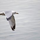 Ringbilled Gull in Flight by ArianaMurphy