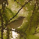 Golden Crowned Kinglet by ArianaMurphy
