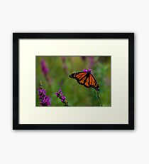 Male Monarch Butterfly on Purple Loosestrife Framed Print