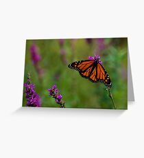 Male Monarch Butterfly on Purple Loosestrife Greeting Card