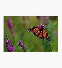 Male Monarch Butterfly on Purple Loosestrife Photographic Print