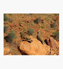 The Spinifex Pigeons sunning themselves. N.Territory. Photographic Print