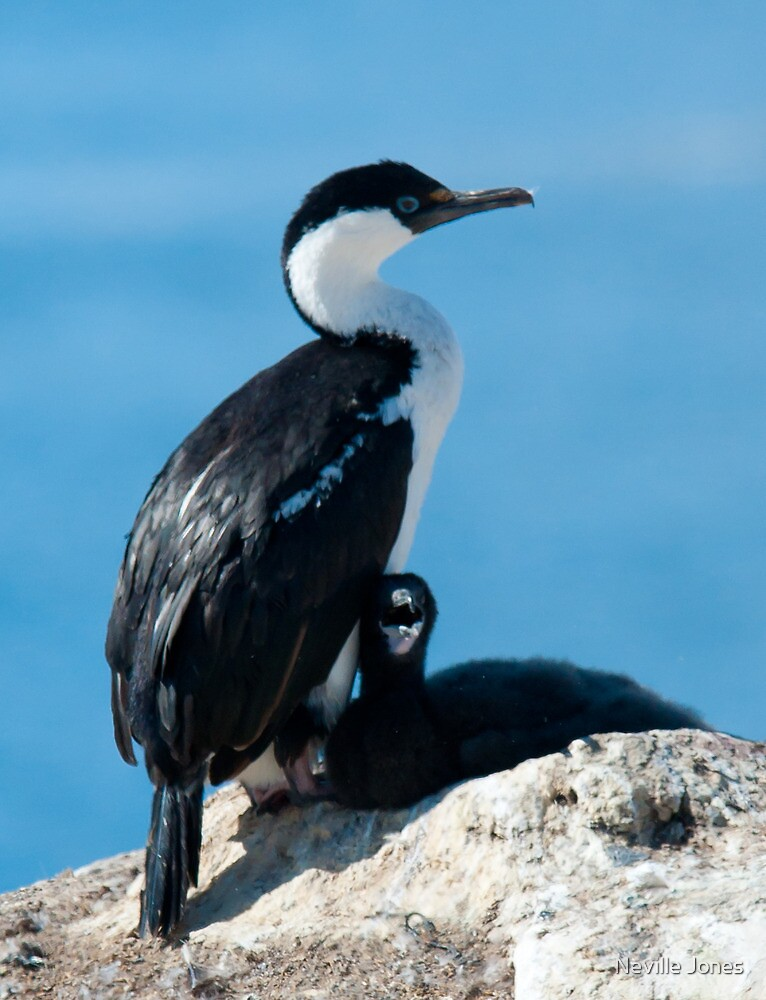 Antarctic Blue-eyed Shag [Phalacrocorax (atriceps) bransfieldensis] by Neville Jones