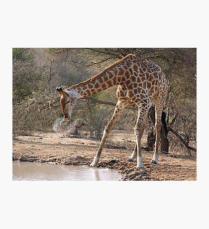 Giraffe Drinking Spray Photographic Print