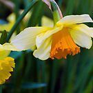 Daffodils...Sure Sign of Spring by Monica M. Scanlan