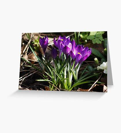 Crocus' Growing from the Soil in February (Spring) Greeting Card