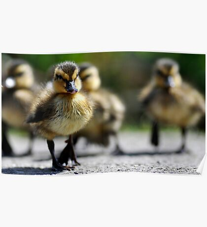 Ducklings on the move  Poster