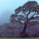 Ancient Pine, Shugaku-in Imperial Villa, Kyoto, Japan. by johnrf