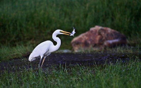 Great Egret ~ Chapman River by Pene Stevens