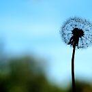 dandelion by weglet