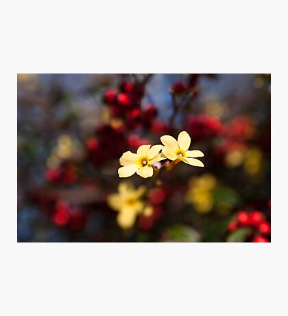 Jasminum Nudiflorum Photographic Print