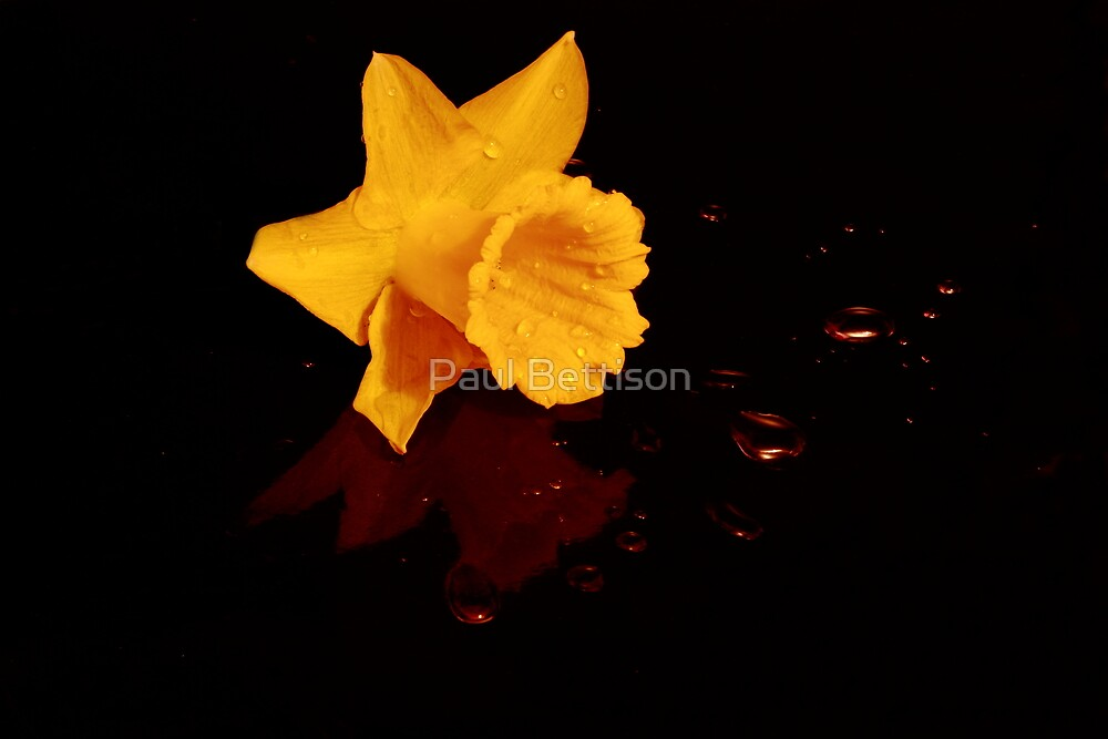 Daffodil on a bed of Water Beads by Paul Bettison