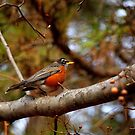 The first red breasted robin of spring! by meowiyer