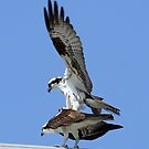 Osprey acrobatics!(The view is much better  on top !!) by Anthony Goldman