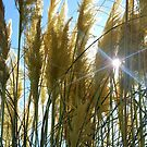 Blue sky and long grass with sun shining through - a summer scene in nature by SJMcDermott