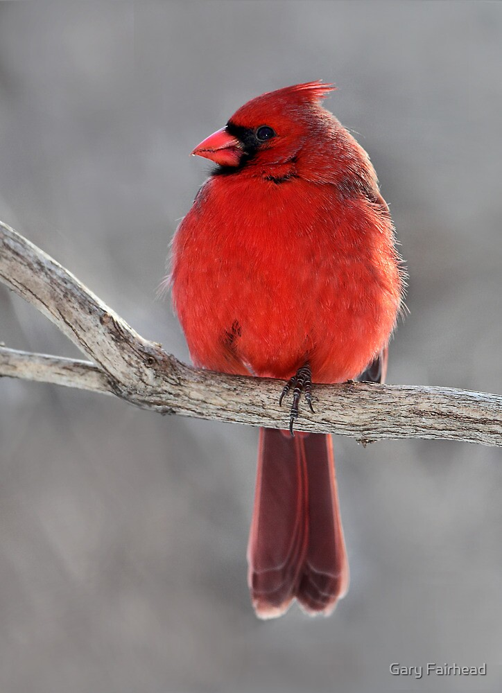 King Of Hearts /  Northern Cardinal by Gary Fairhead