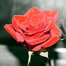 One Single Flower by Dean Messenger