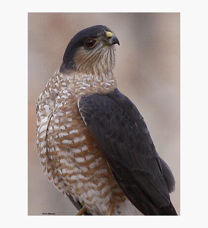 Sharp-shinned Hawk Photographic Print
