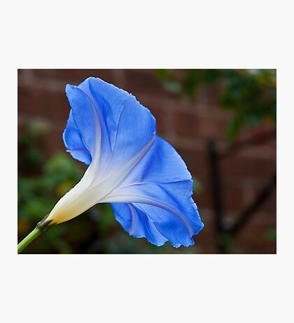 Morning Glory Photographic Print