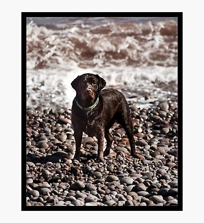Chocolate Labrador Photographic Print