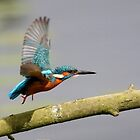 Kingfisher by Peter Stone