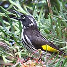 New Holland Honeyeater by Rick Playle