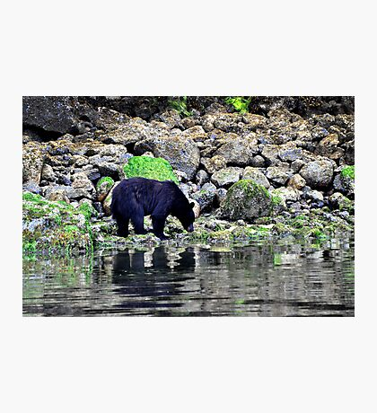 Wild black bear on the prowl Photographic Print