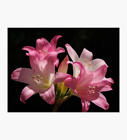 Belladonna Lily Photographic Print