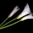 Calla Lily - 3 Stems by Wendy Kennedy