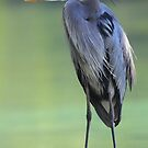 Great Blue Heron   by naturalnomad