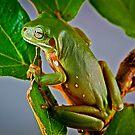 Australian Green Tree Frog, (Litoria caerulea) by Normf