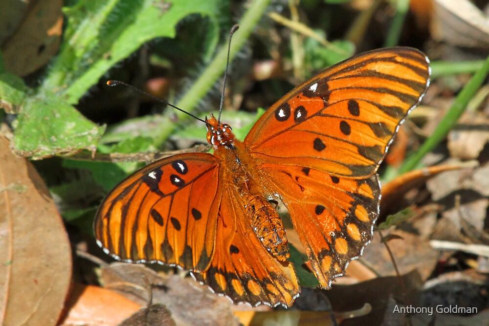 Gulf Fritillary butterfly up close by Anthony Goldman