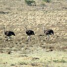 three ostrich by shaft77