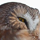 Northern Saw-Whet Owl Close up by Jean-Paul Fournier