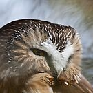 Northern Saw-Whet Owl Close up 2 by Jean-Paul Fournier
