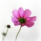 Cosmos by Marcia Luly