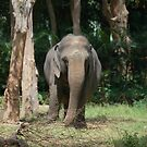 Indian Elephant by Alastair