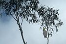 Early morning cockatoo in the fog. by Ian Fegent