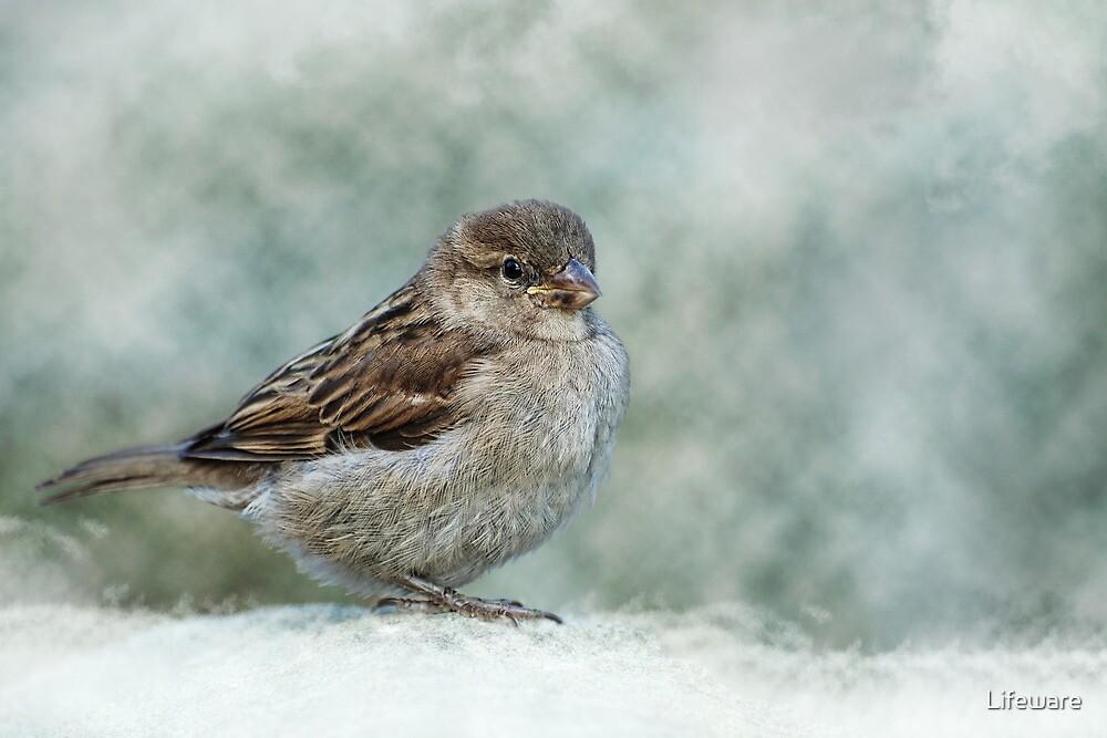 Sparrow by Lifeware