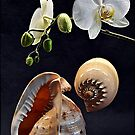 Orchid and two seashells by andreisky
