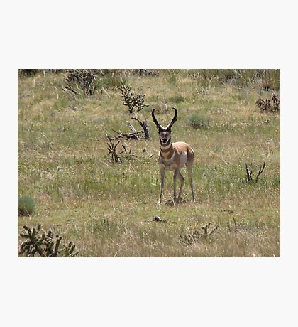 Pronghorn ~ Male Photographic Print