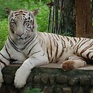 White Tiger by Alastair
